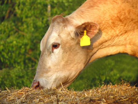 Profile of beige head grazing cow, Head profile beige grazing cows, cattle breeding on farm, meat production