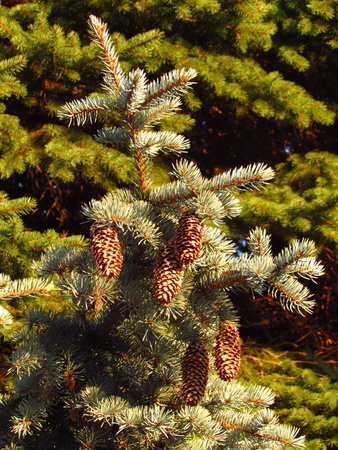 Branch of blue spruce with ripe pinecones