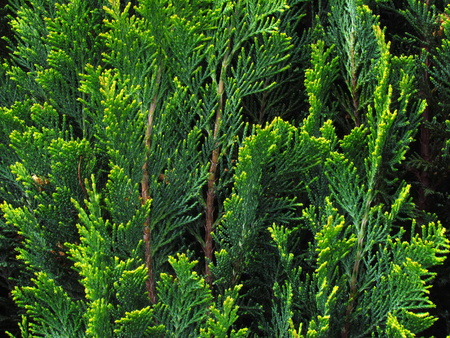 Cypress, detail of a green branche, a popular garden conifer, Cupressus Reklamní fotografie