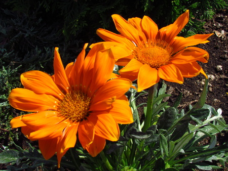 Orange marguerite, two flowers on dark bakckround