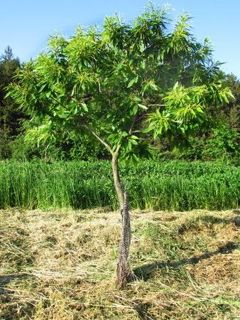 Young tree of sweet chesnut botanic named Castanea sativa
