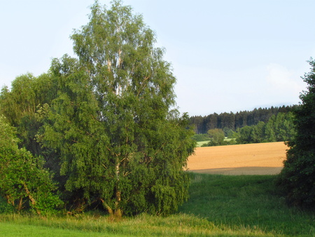 Summer landscape with birch, field and forest view