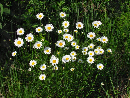 Marquerite great group , white flowers on meadow, topview