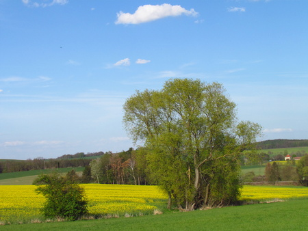 Peaceful landscape with willow, meadow and rapeseed field