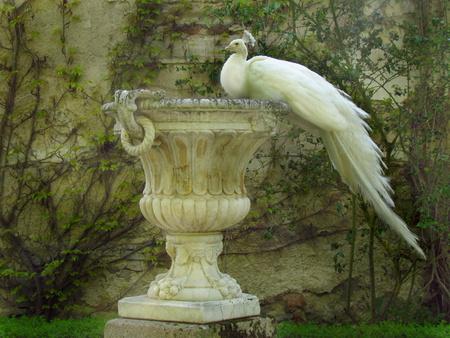 White peacock sitting on baroque decorative flowerpot, peafowl in garden
