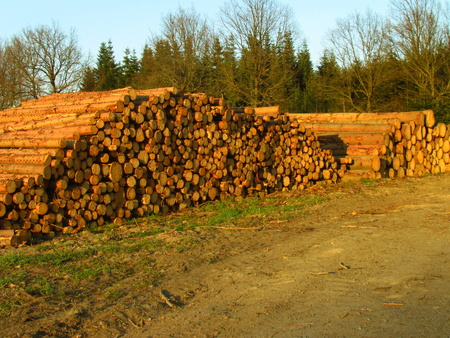 Logging, large stacks of logs. forest attacked from bark bettle