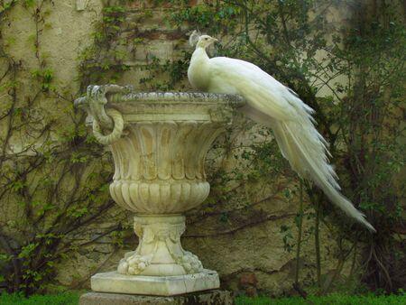 White peacock sitting on baroque decorative flowerpot