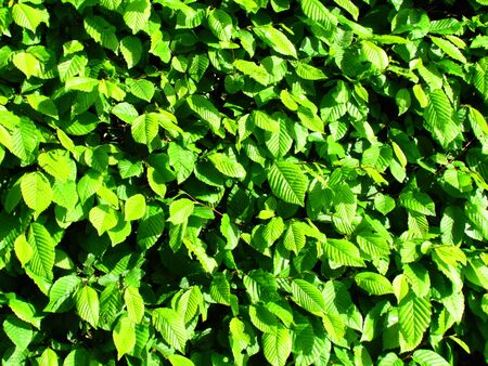Vivid green leaves natural photo texture, hedgerow detail