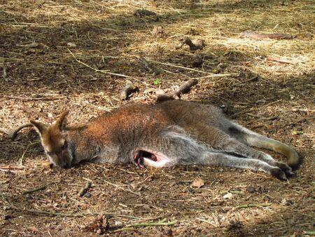 Sleeping female kangaroo with infant in the bag