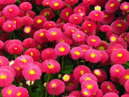 Bellis perennis, red daisy, popular undemanding garden flower