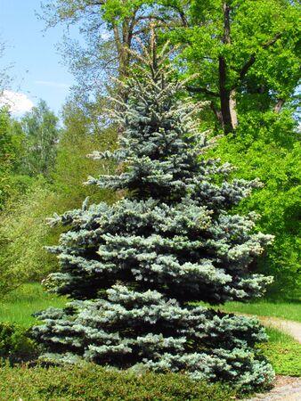 Ornamental garden with silver spruce Picea pungens, nice garden still life