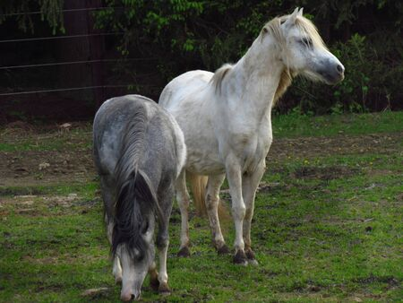 Gray pony on pasture, cute little animal on meadow