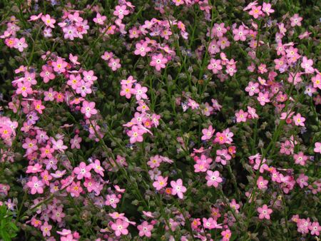 Forget-me-not, pink variety, botany name Myosotis sylvatica