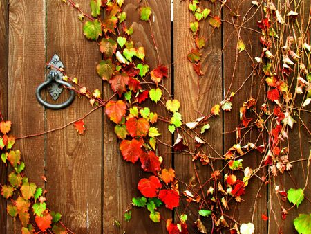Colorful ivy leaves on dark wooden door with antiquarian metallic lock Stock Photo