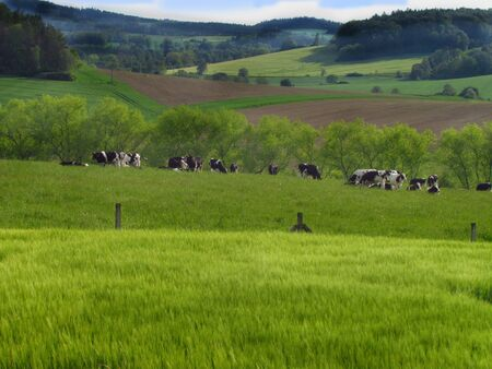 Summer mountain landscape with grazing cattle, agriculture, cow breeding, organic food production Zdjęcie Seryjne