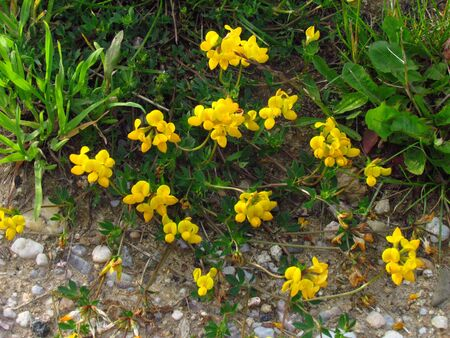 Lotus corniculatus - english birds-foot trefoil, yellow blossom in summer