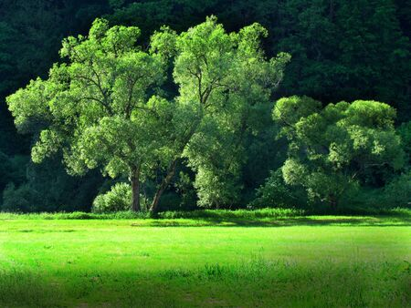 green willows on side of meadow, landscape with big trees in sharp afternoon sunshine Zdjęcie Seryjne
