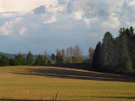Early evening landscape with spruces affected by bark beetle, destruction caused by insects