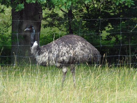 Dromaius novaehollandiae, emu, large flightless bird from Australia, ostrich breeding Zdjęcie Seryjne