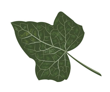 Realistic ivy leaf, botanical name Hedera, vector isolated on a white background, creeping plant with medicinal effects against cough, medicinal herbs Ilustracja
