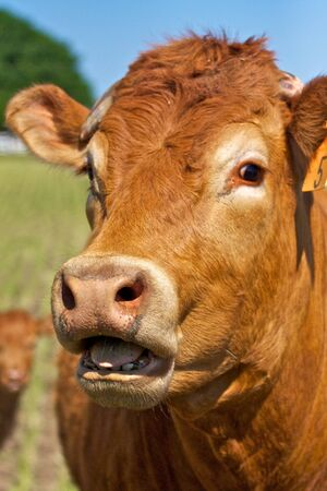 red heifer: A red cow with open mouth appears to be speaking Stock Photo