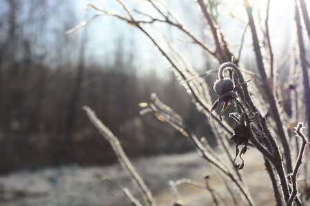 Branch of dried rose hips in the light of a frosty morning