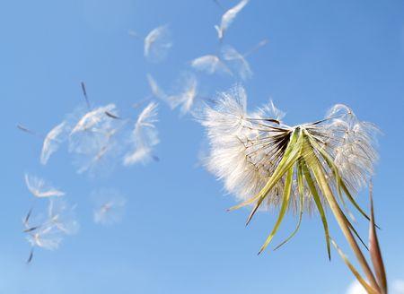 Dandelion seeds blown in the wind photo