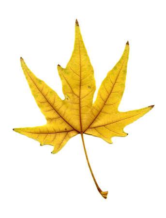 isolated on white beautiful autumn leaf photo