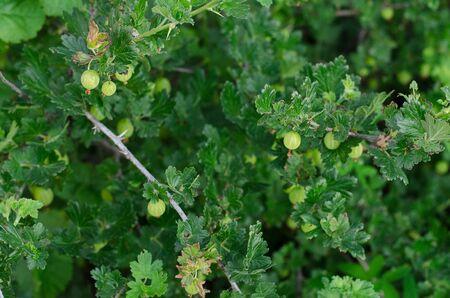 gooseberry bush: Gardening topic: bush ripe green gooseberries, gooseberry berries on branch studio