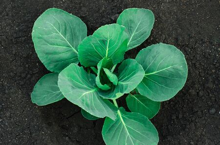land plant: Gardening topic: bed bush with young green cabbage studio