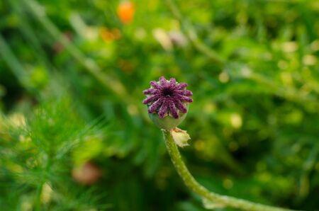 Field poppy, poppy head green garden studio