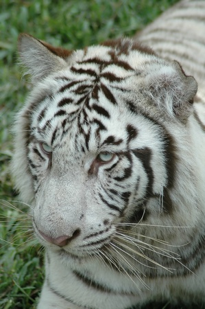 White tiger in Chiangmai Night Safari Thailand photo