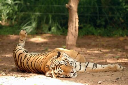 Indochinese Tiger in Chiangmai Night Safari photo