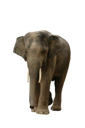 Asian Elephant Isolated photo