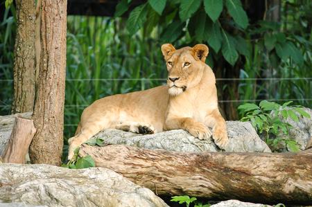 big5: Female Lion in Chiangmai Night Safari of Thailand