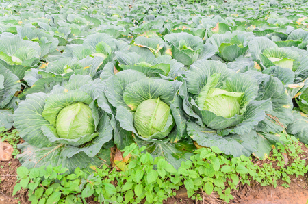 cabbage patch: Cabbage in the garden Stock Photo