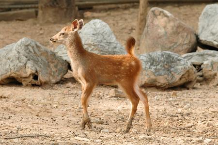 huge antlers: Sambar deer in the zoo Stock Photo