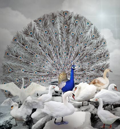 stand out: Stand out of the crowd - The blue peacock Stock Photo