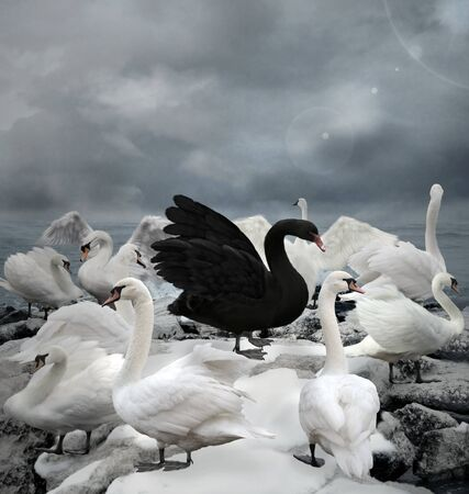 Stand out of the crowd concept portrayed by a black swan among white ducks in a stormy sky scenery