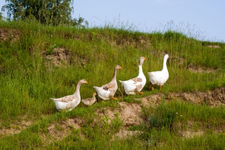 goose on green grass background photo
