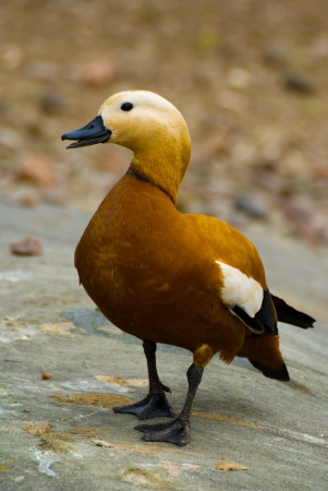orange Ruddy Shelduck in moscow zoo photo