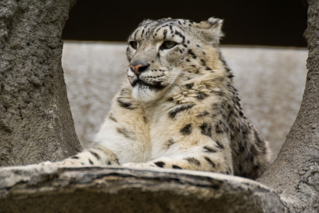snow leopard (irbis) in moscow zoo photo
