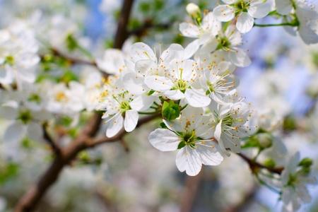 arbol cerezo: �rbol de cerezo en flor (enfoque selectivo)