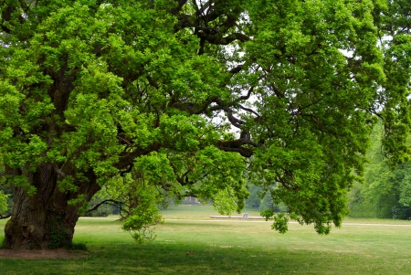 strong growth: old oak tree with green leaves standing alone in a field