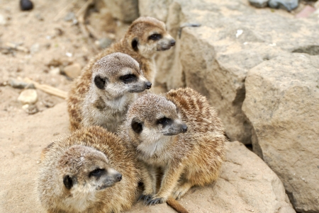 photo of family meerkat on the look out photo