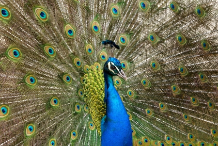 Portrait of beautiful peacock with tail feathers out Stock Photo