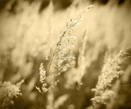 reed: toned abstract landscape with feather grass against sun in backlight