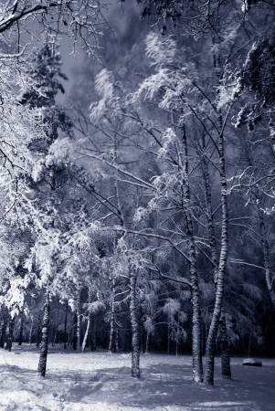 birch: winter night landscape with dark snowy trees Park scene. Night shot. Stock Photo