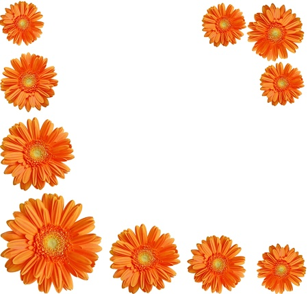 orange daisy gerber flowers create a frame on white background Stock Photo