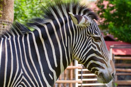striped Zebra Portrait closeup in Moscow zoo photo